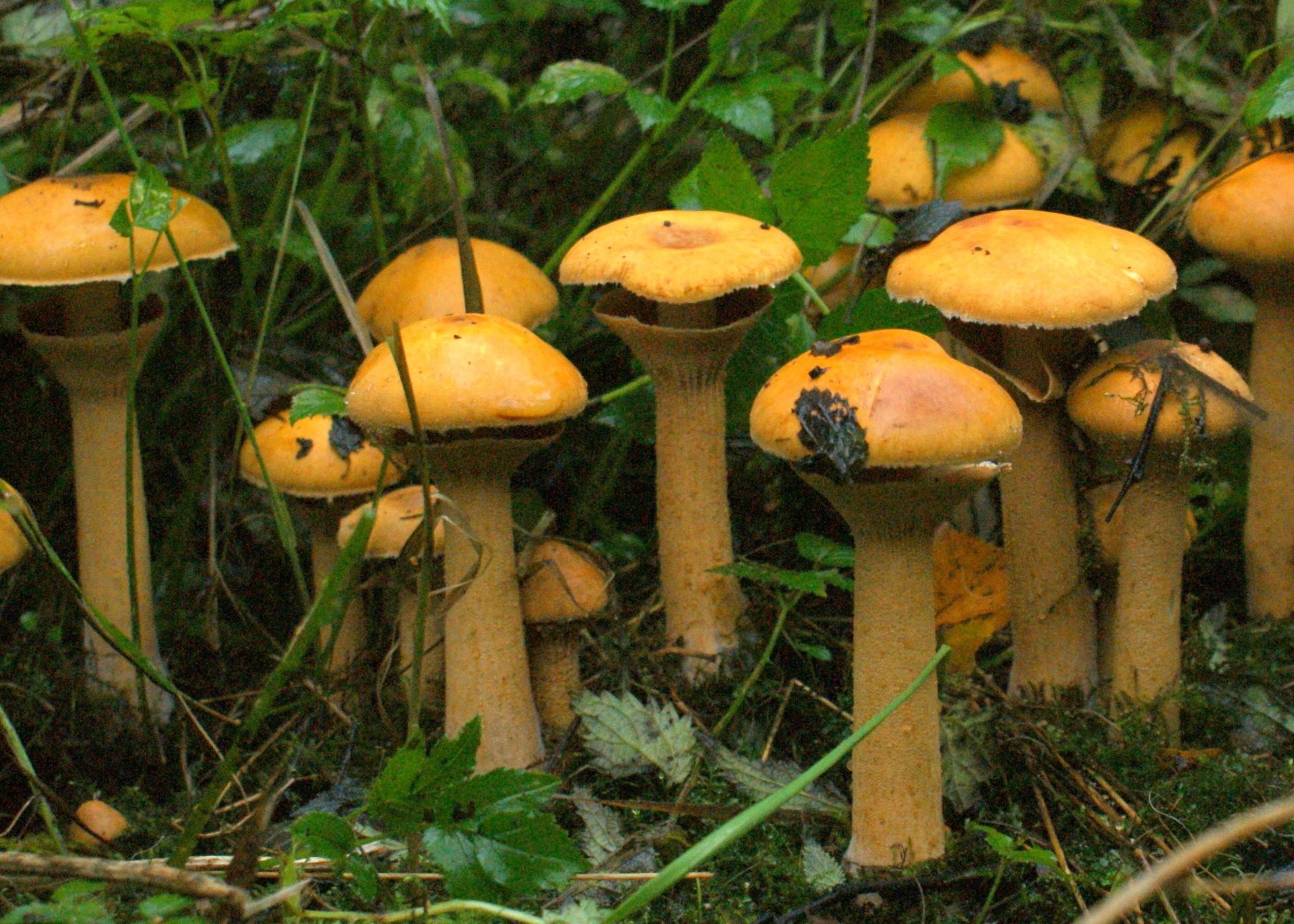 Sydfynske svampedage trente Mølle og Øhavsmuseet